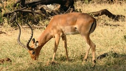 African Herbivores And Antelopes