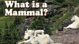 What is a Mammal?