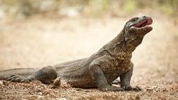 Australia's Megafauna: Komodo Dragons