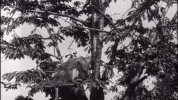 The Monkey Race (1909)
