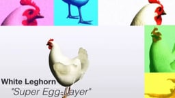 Super Egg Layer: White Leghorn