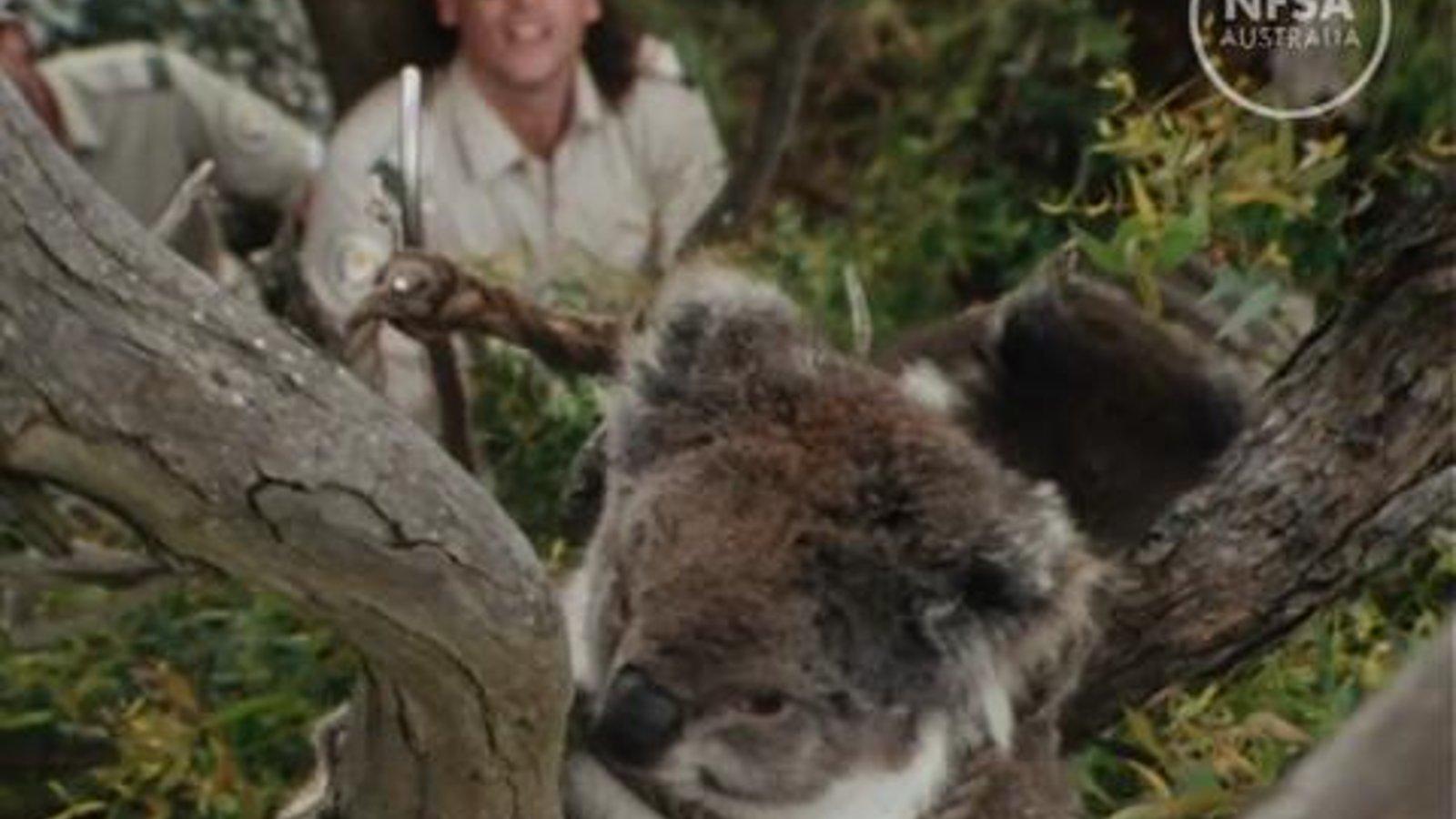 Koalas: The Bare Facts