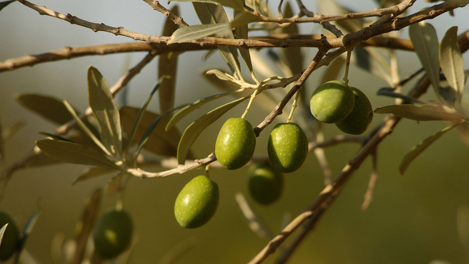 Classical Greece—Wine, Olive Oil, and Trade