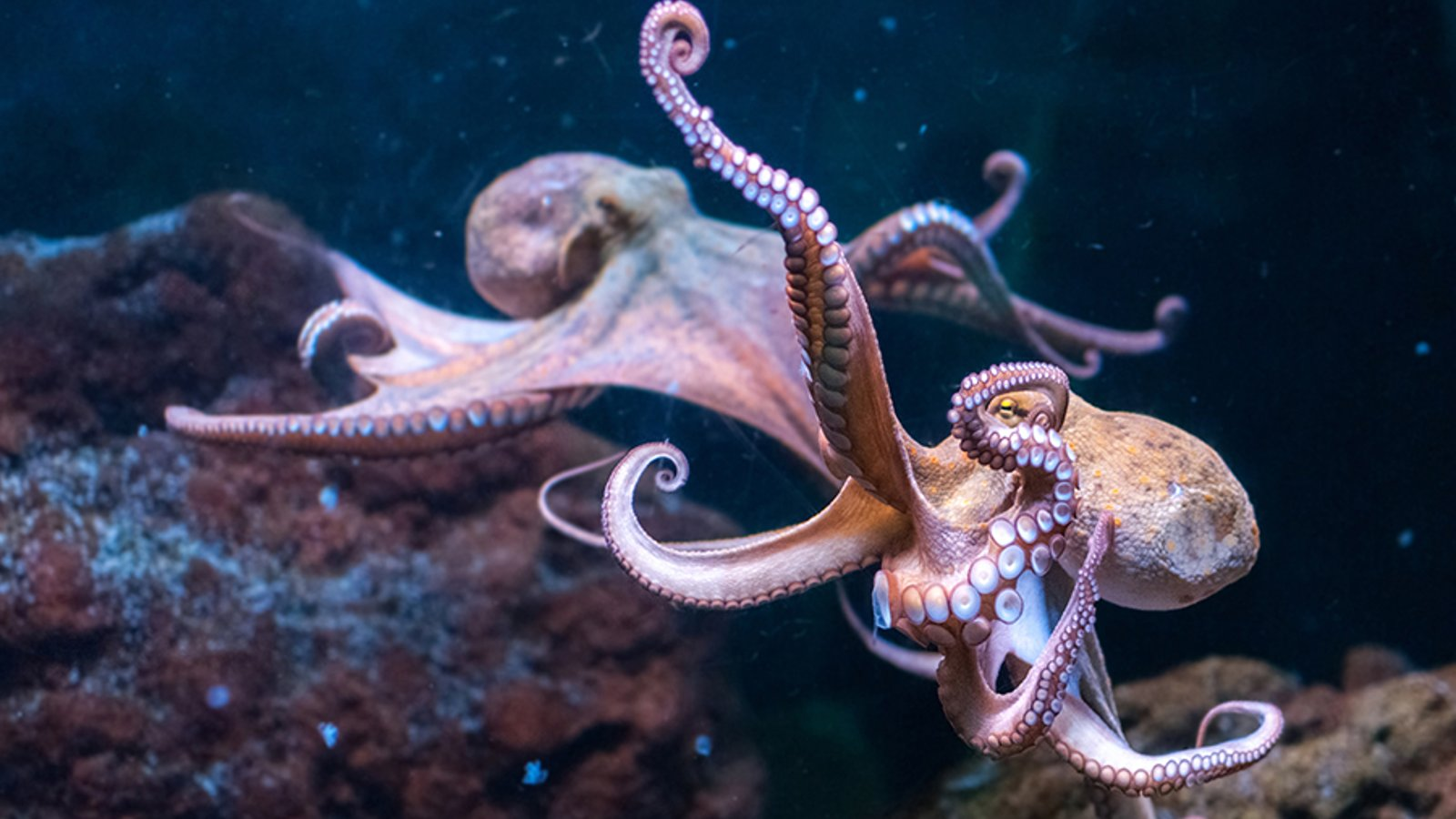 Fewer Octopuses or Less Octopi?