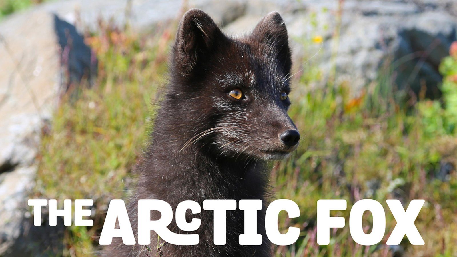 Arctic Fox - The Life Cycle of the Arctic Fox