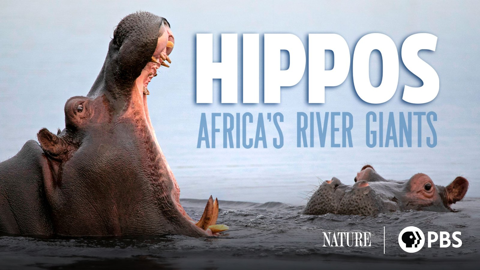 Hippos: Africa's River Giants