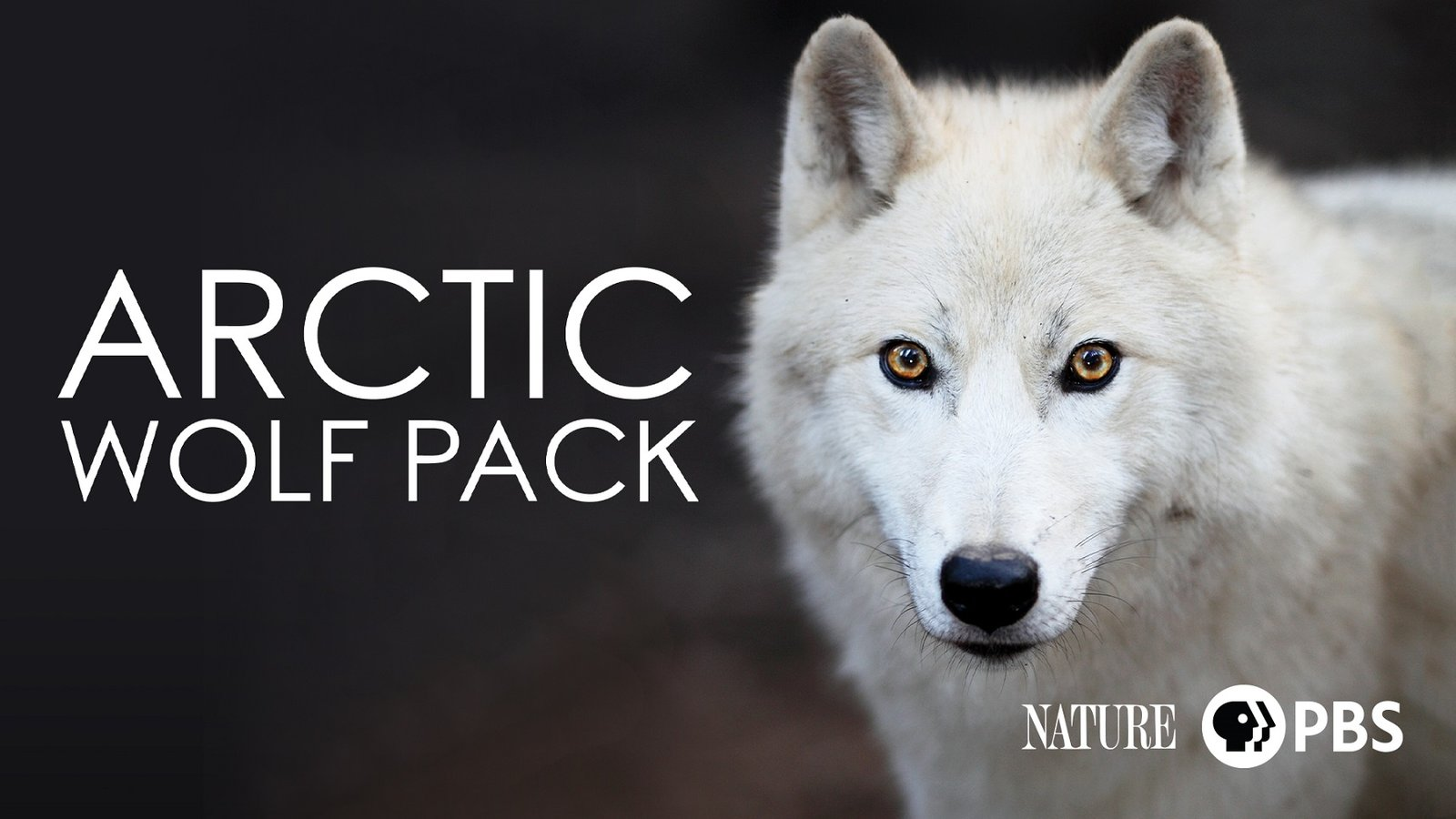 Nature: Arctic Wolf Pack