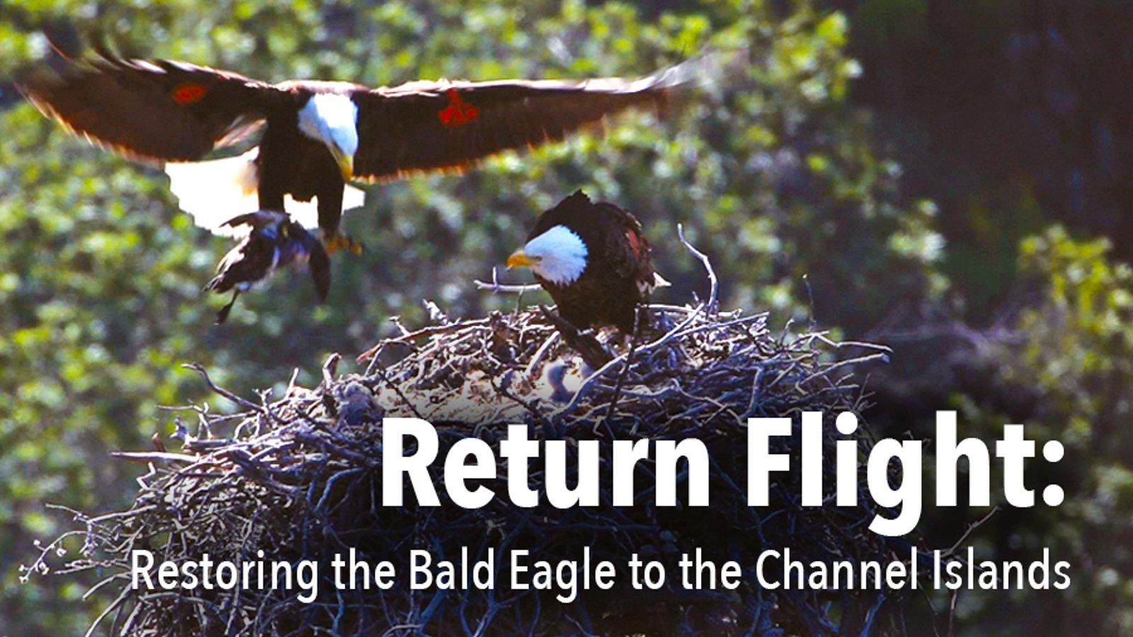 Return Flight: Restoring the Bald Eagle to the Channel Islands